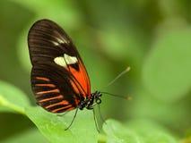 Tropisk fjäril Arkivbilder