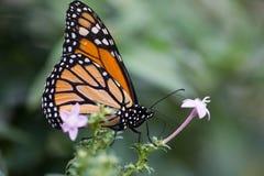 Tropisk fjäril, monark royaltyfria bilder