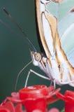 tropisk fjärilsmakro Arkivbilder