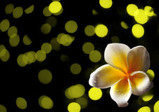 Tropisk frangipaniblomma på abstrakt begreppgulingbakgrund Royaltyfria Foton
