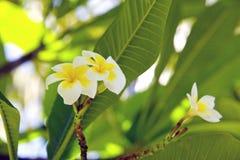Tropisk frangipaniblomma (plumeria) Arkivbild