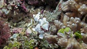 Tropisk frogfish bland korallerna arkivfoton