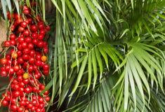 Tropisk frukt för Corozo - den Bactris guineensisen - royaltyfri bild