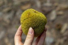 Tropisk frukt med spetsig yttersida i kvinnahand Ovanlig vändkretsfrukt i hand Lopp i Cambodja royaltyfria bilder