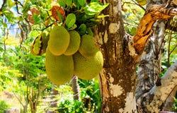 tropisk frukt Mogen jackfruit Fotografering för Bildbyråer