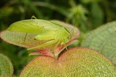 Tropisk gräshoppa på bladet Arkivbilder