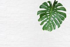 Tropisk grön bladMonstera deliciosa, denblad philodenden Royaltyfri Fotografi