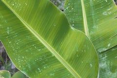 Tropisk grön bladväxt med vattendroppar Arkivfoto