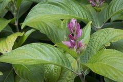 Tropisk grön lövrik växt med rosa färgblom Royaltyfri Bild