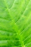 tropisk grön leaf för bakgrund Arkivbilder