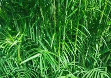 Tropisk grönskanaturbakgrund, tropisk rainforest, gömma i handflatan växten Royaltyfri Bild