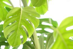 Tropisk gr?n Monstera f?r v?xt f?r sidabakgrundsdjungel Philodendron royaltyfria bilder