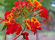 Tropisk gul blommaCaesalpinia som är röd och Royaltyfri Foto