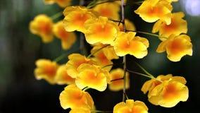 Tropisk gul orkidébloomimg i sommar fotografering för bildbyråer