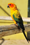 Tropisk gul papegoja med gröna vingar, Arkivfoto
