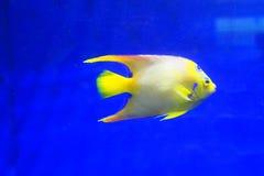 tropisk härlig fisk Royaltyfria Foton