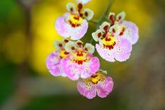 Tropisk härlig orkidé Royaltyfria Foton