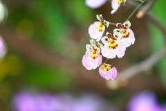 Tropisk härlig orkidé Fotografering för Bildbyråer