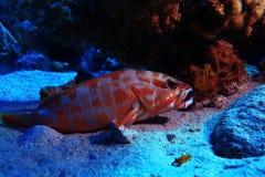Tropisk havssikt med den ovanliga fisken Royaltyfria Foton
