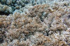 Tropisk havsväxt på reven i Indiska oceanen Royaltyfri Bild