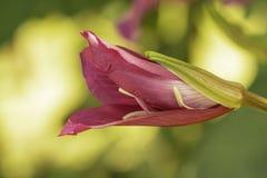 Tropisk hibiskusblomma av Jamaica fotografering för bildbyråer