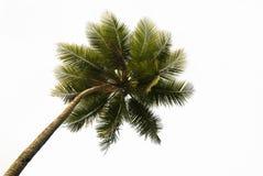 tropisk isolerad palmträd Royaltyfri Fotografi