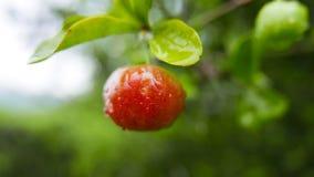 Tropisk körsbär Arkivbild