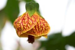tropisk kinesisk blomma Royaltyfri Bild