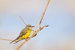 Tropisk Kingbird - (Tyrannusmelancholicusen) Fotografering för Bildbyråer