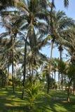 Tropisk kokosnötdunge Arkivfoton