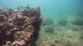 tropisk korallfiskrev Filippinerna Mindoro stock video