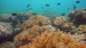 tropisk korallfiskrev Filippinerna Mindoro lager videofilmer