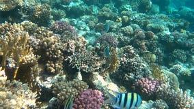 tropisk korallrev Undervattens- fiskar i Ras Mohamed, Sharm el Sheikh, Egypten arkivfilmer