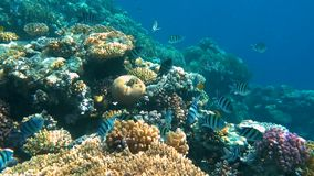 tropisk korallrev Undervattens- fiskar i Ras Mohamed, Sharm el Sheikh, Egypten lager videofilmer