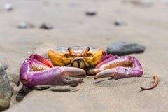 Tropisk krabba på stranden royaltyfria bilder