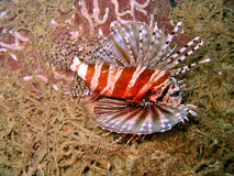 tropisk lionfish royaltyfri bild