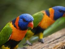 tropisk lory Arkivbilder