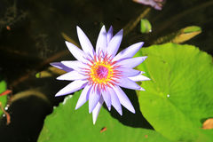 Tropisk lotusblomma Royaltyfria Foton