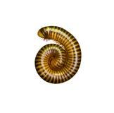 tropisk millipede Arkivbild