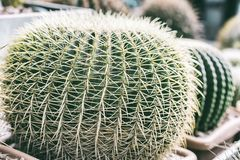 Tropisk naturlig grön kaktus Abstrakt naturlig modelltextur, exotisk taggig bakgrund Arkivfoto
