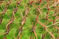 Tropisk naturlig grön kaktustextur Abstrakt naturlig modelltextur, exotisk taggig bakgrund Fotografering för Bildbyråer
