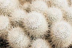 Tropisk naturlig vit kaktustextur Abstrakt naturlig modelltextur, exotisk taggig bakgrund Royaltyfria Bilder
