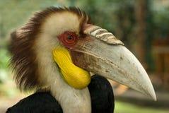 Tropisk noshörningfågel, hornbill, stående: ljus fjäderdräkt på huvudet med brun mohawk, ljus guling flådde struman, en enorm bo Arkivfoton