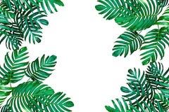 Tropisk orientering för bladnaturram, Monstera philodendron helgdagsaftonen Royaltyfria Foton