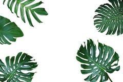 Tropisk orientering för sidanaturram av den Monstera deliciosaen, splittring Arkivfoton