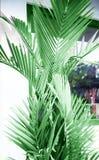 Tropisk palmträd som stängs till den vita väggen som garneringbeståndsdel royaltyfri bild