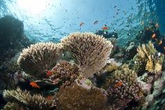 tropisk pristine tabell för korallbildande arkivfoto