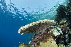 tropisk pristine tabell för korallbildande arkivfoton