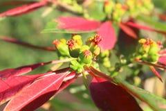 Tropisk röd blomma, blomma och trädgård Royaltyfria Bilder