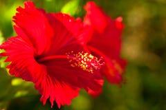 Tropisk röd ljus blommahibiskus i Okinawa Royaltyfri Foto